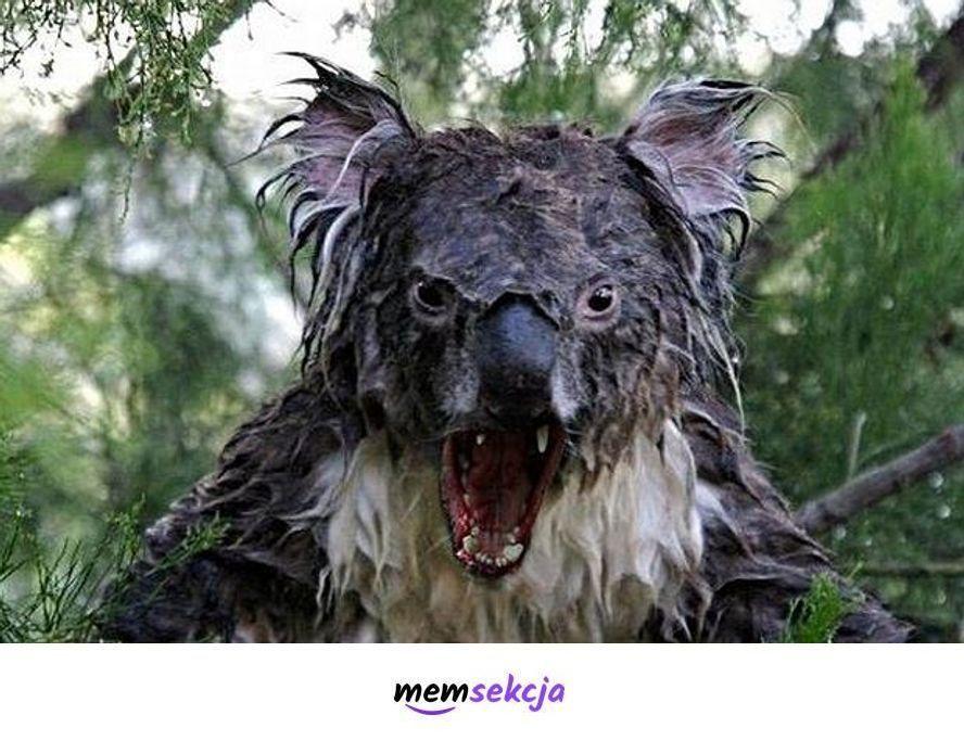 Mokry koala. Śmieszne zwierzęta. Koala