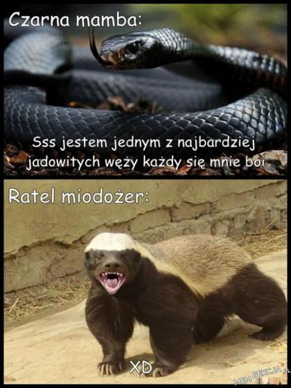 Czarna mamba i ratel miodożer