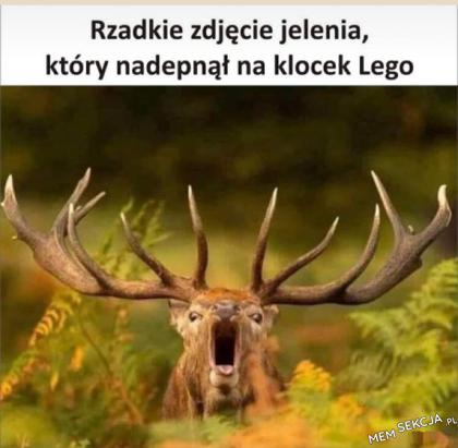 Jeleń, który nadepnął na klocek Lego