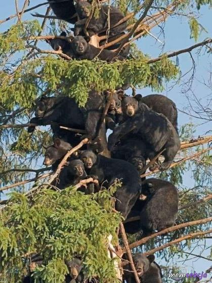 Niedźwiedzie na drzewie