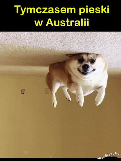 Pieski w Australii
