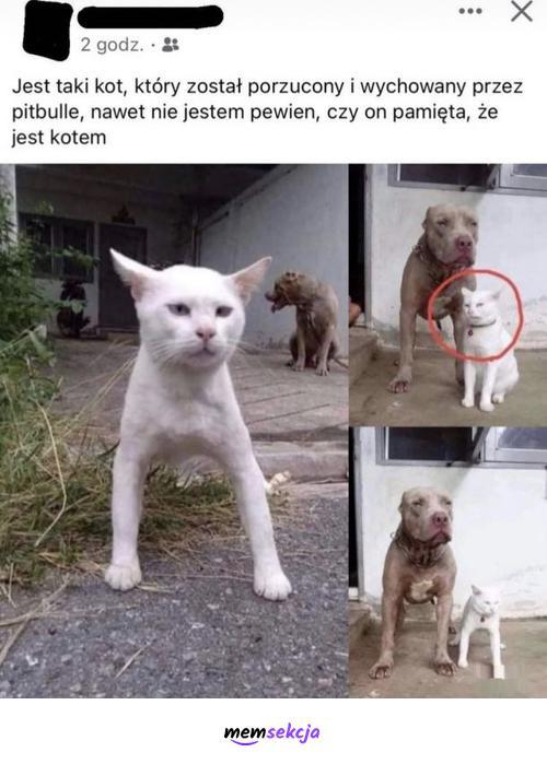 Kot wychowany przez pitbulle. Śmieszne koty