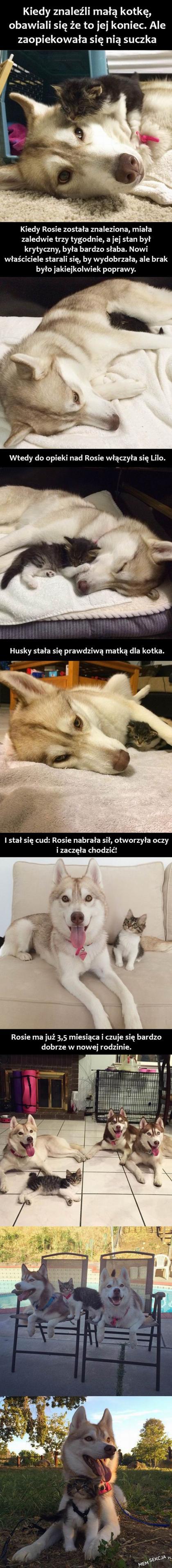 Piękna historia o Huskim, który zaopiekował się kotkiem