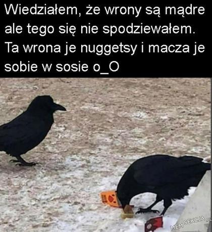 Wiedziałem, że wrony są mądre ale nie aż tak