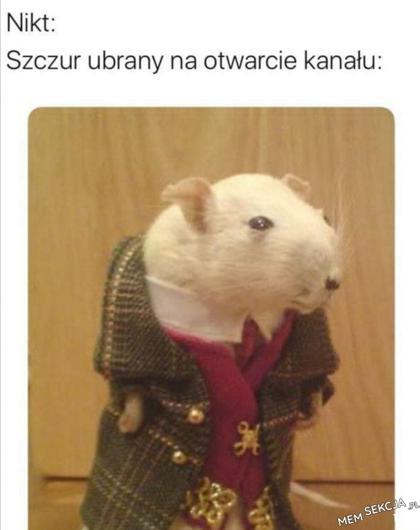 Typowy szczur na otwarciu kanału