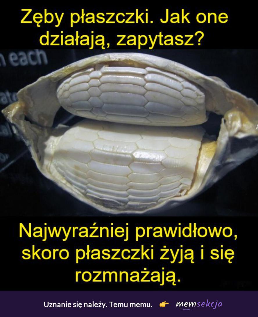 Jak działają zęby płaszczki. Memy. Zęby