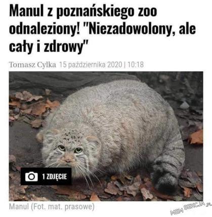 niezadowolony Manul z poznańskiego zoo