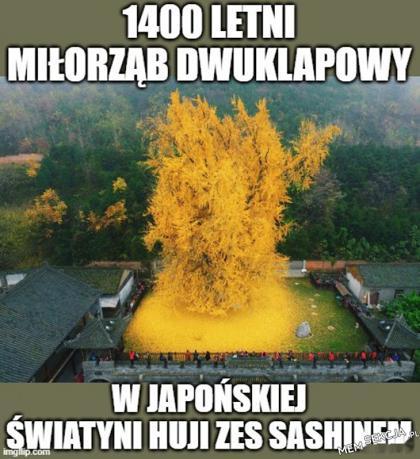 Pięky Miłorząb w Japonii