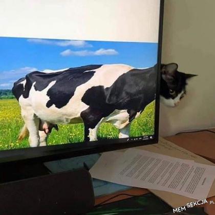 Koto-krowa