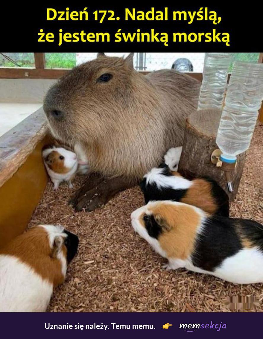 Udawana świnka morska. Śmieszne zwierzęta. Świnka  Morska. Kapibara