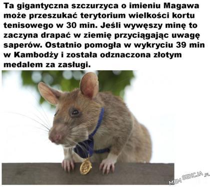 Złoty model dla szczura