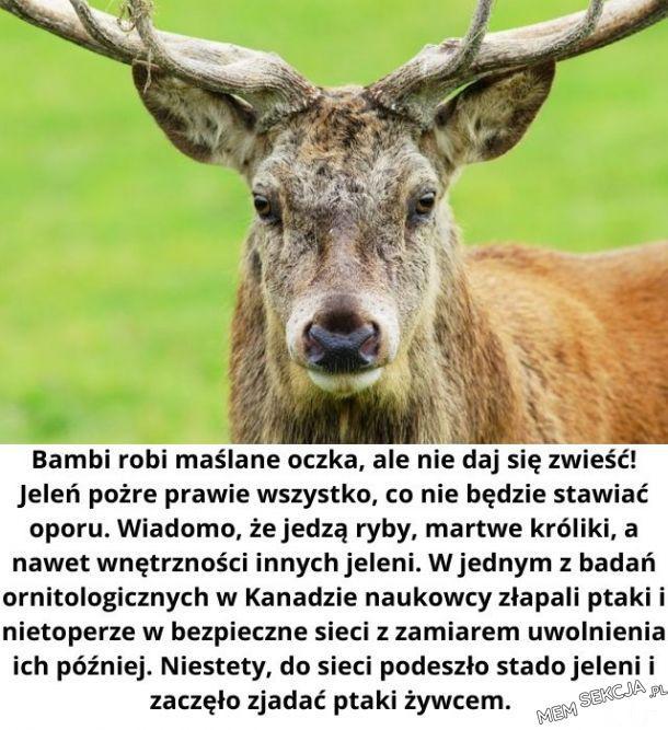 Bambi robi maślane oczka, ale nie daj się zwieść!