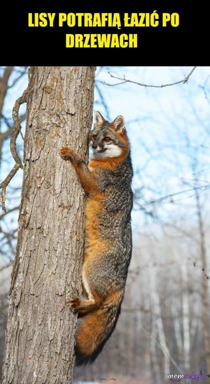 Lisy potrafią łazić po drzewach