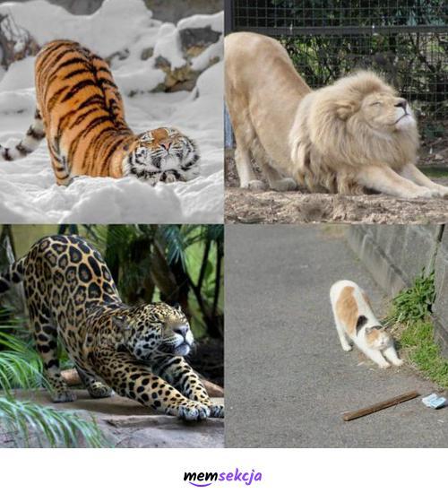 Wszystkie kotki przeciągają się tak samo. Śmieszne koty. Słodkie. Lew. Tygrys. Gepart