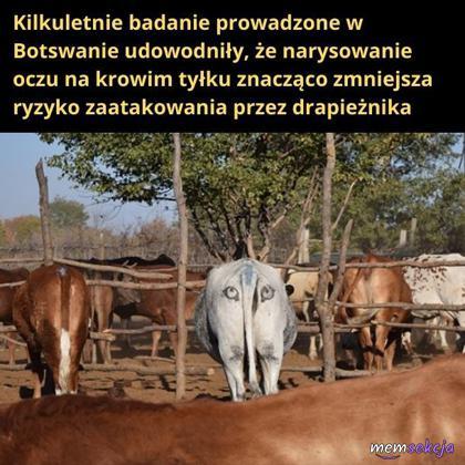 Jak zmniejszyć ryzyko zaatakowania krowy przez drapieżnika?