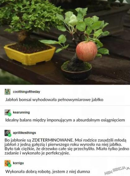 Jabłoń bonsai wyhodowała pełnowymiarowe jabłko