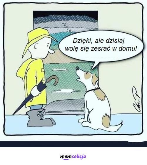 Piesek woli w domu. Śmieszne psy. Deszcz