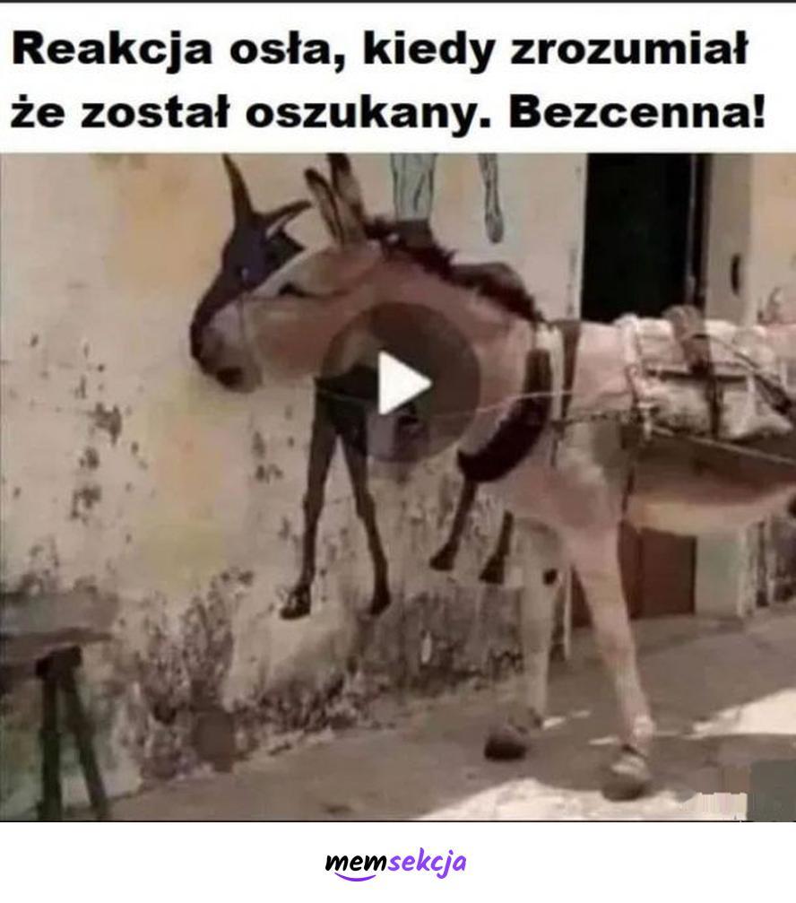 Reakcja oszukanego osła. Memy. Osioł