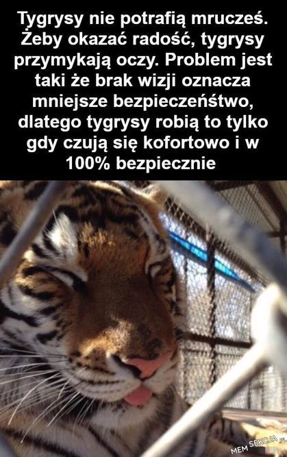 Spójrzcie no na tego czującego się komfortowo i bezpiecznie tygrysa