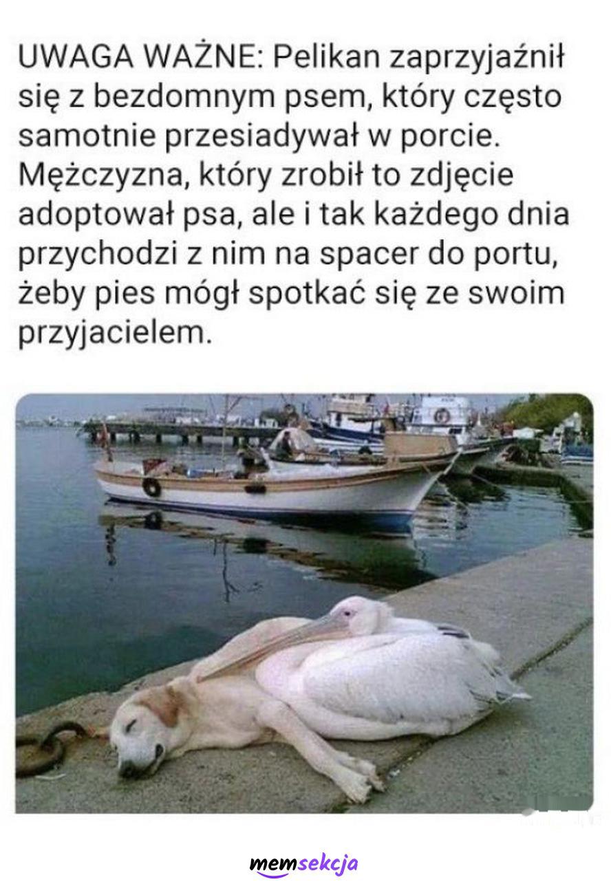Pelikan zaprzyjaźnił się z psem