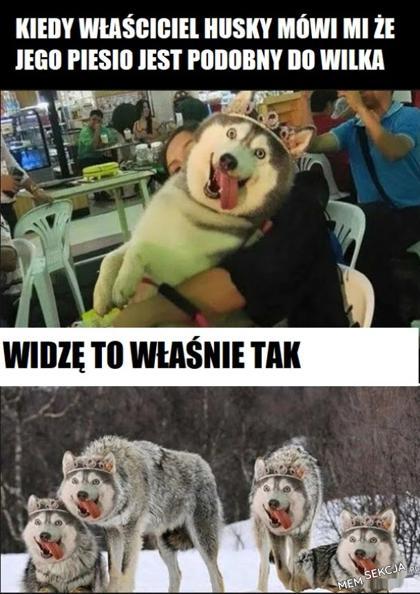 Husky podobny do wilka. Memy. Husky